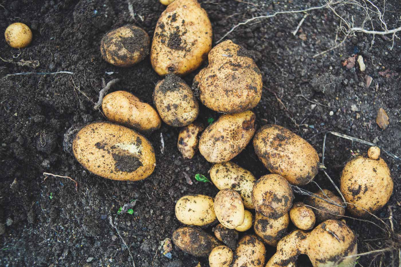 frisch geerntete Kartoffeln auf der Erde liegend